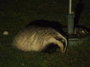 Badger feeding