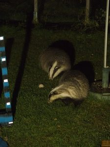 A pair of feeding badgers