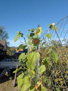 Sunflowers in the September sun
