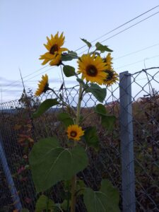 Sunflowers next to a fence